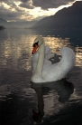Mute Swan in Brienzersee