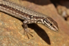 Lizard close-up