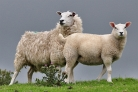 Sheep neat M6 pass Tebay