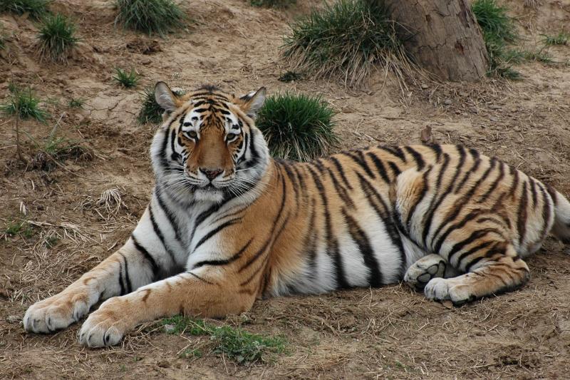 Tiger in Yangzhou zoo-© Rogier Vermeulen