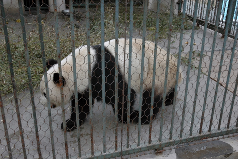 The only Giant Panda in Yangzhou zoo -© Rogier Vermeulen
