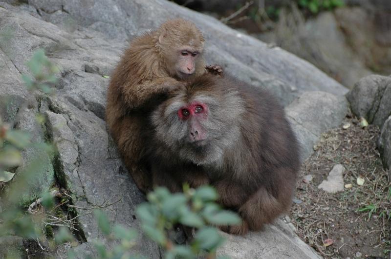 Tibetan macaques, TangKou-© Rogier Vermeulen