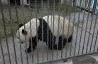 The only Giant Panda in Yangzhou zoo