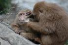 Tibetan macaques, TangKou